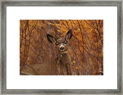 Mule Deer Doe Framed Print