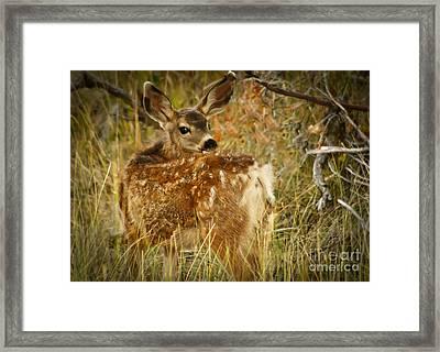 Mule Deer Fawn Framed Print by Robert Bales