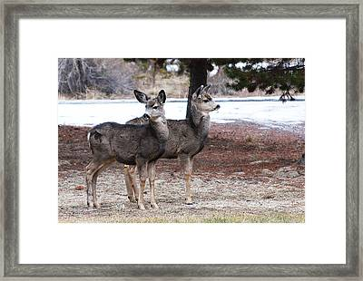 Mule Deer Fawns Framed Print by Jennifer Muller