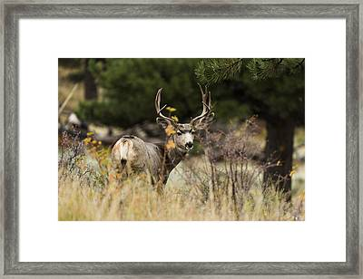 Mule Deer I Framed Print by Chad Dutson