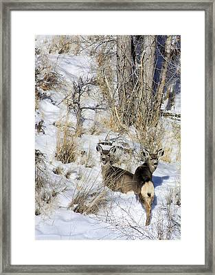 Mule Deer In The Canyon Framed Print