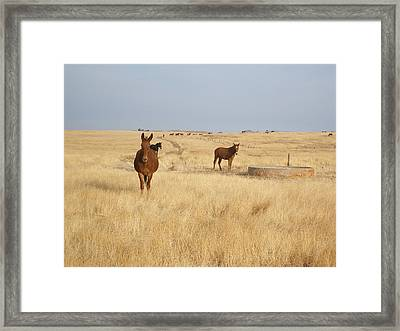 Mules In Gold Grass Framed Print