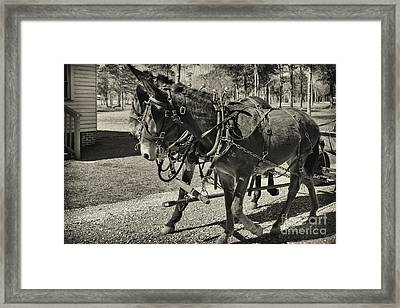 Mules In Harness Framed Print by Russell Christie