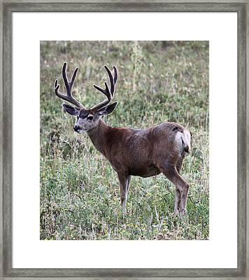 Muley Buck Framed Print
