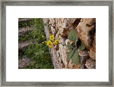 Mullein (verbascum Arcturus) Framed Print by Science Photo Library