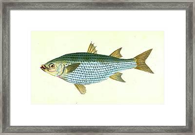 Mullet, Mugil Cephalus, British Fishes, Donovan Framed Print