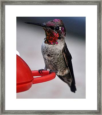Framed Print featuring the photograph Multi Colored Hummingbird Male Anna by Jay Milo