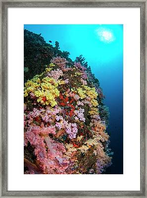 Multi Coloured Soft Coral On Reef Framed Print by Scubazoo