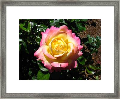 Framed Print featuring the photograph Multicolor Rose by Bill Woodstock