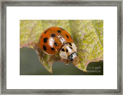 Multicolored Asian Lady Beetle Framed Print by Clarence Holmes
