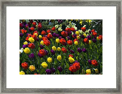 Multicolored Tulips At Tulip Festival. Framed Print by Yulia Kazansky