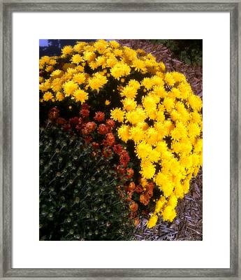 Framed Print featuring the photograph Mums In The Fall by Deborah Fay