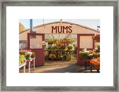 Mums Framed Print