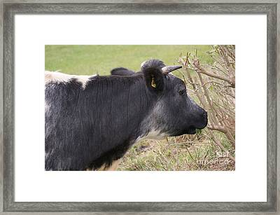 Munching Cow 1 Framed Print