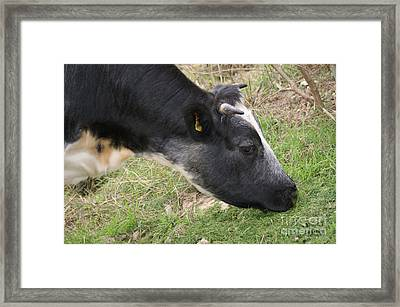 Munching Cow 2 Framed Print