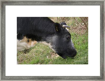 Munching Cow 3 Framed Print