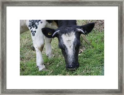 Munching Cow 4 Framed Print