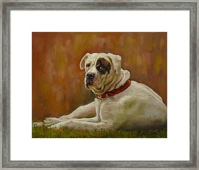 Munson An American Bull Dog Framed Print by Nora Sallows