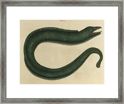 Murae Maculata Framed Print by British Library
