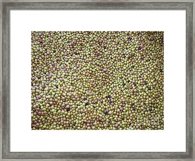 Muscadine Grapes Framed Print by Gayle Melges
