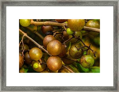 Muscadine Grapes Framed Print