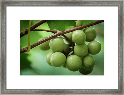 Muscadine Green Framed Print by James Barber