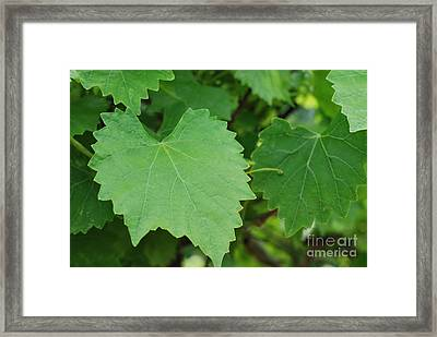Muscadine Leaves Framed Print by Gayle Melges