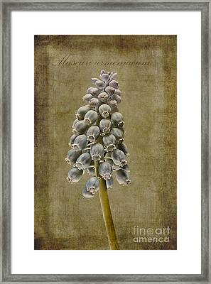 Muscari Armeniacum With Textures Framed Print