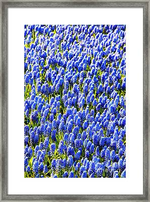 Muscari Early Magic Framed Print by Jasna Buncic