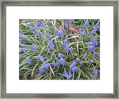 Framed Print featuring the photograph Muscari Flowers 2 by Margaret Newcomb