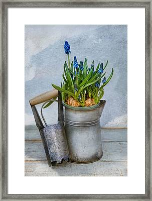 Muscari Framed Print by Robin-Lee Vieira