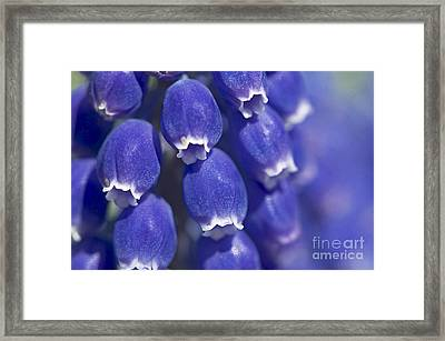 Muscari Framed Print by Sharon Talson