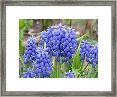 Framed Print featuring the photograph Muscari Up Close by Margaret Newcomb