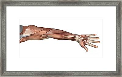 Muscle Anatomy Of The Human Arm Framed Print by Stocktrek Images