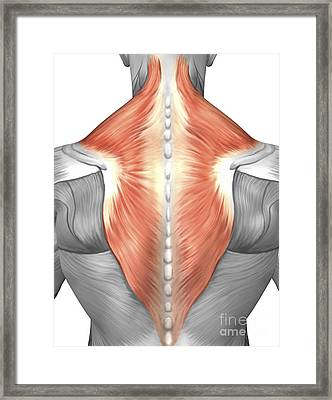 Muscles Of The Back And Neck Framed Print