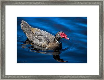 Muscovy Duck Framed Print by Christine Nunes