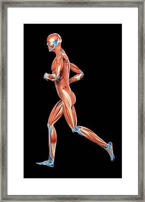 Muscular System Of Jogger Framed Print by Sebastian Kaulitzki