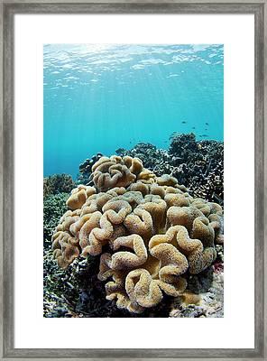 Mushroom Coral Growing On Healthy Reef Framed Print by Scubazoo