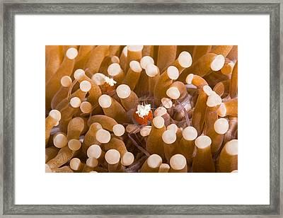Mushroom Coral Shrimp Framed Print