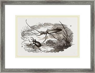 Musk-beetle And Catehweed-beetle Framed Print
