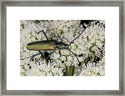 Musk Beetle Feeding On Angelica Flowers Framed Print by Bob Gibbons