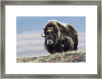 Musk Ox With Calf Framed Print