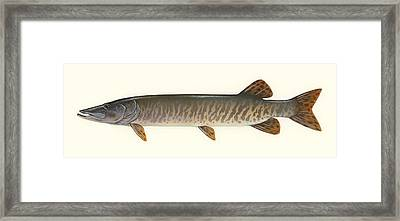 Muskellunge  Framed Print by Mountain Dreams