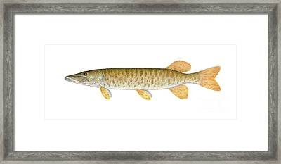 Muskie Framed Print by Carlyn Iverson