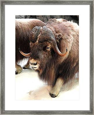 Muskox Framed Print by Mary Beth Landis