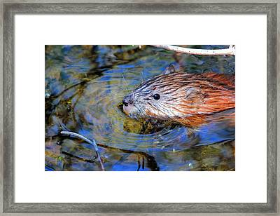 Muskrat Framed Print by Larry Trupp