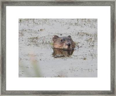 Muskrat Peeking Framed Print by Penny Homontowski