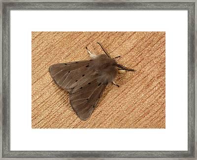 Muslin Moth Framed Print by Nigel Downer