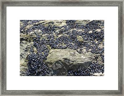 Mussels On Rocks At Porth Joke Framed Print by Ashley Cooper