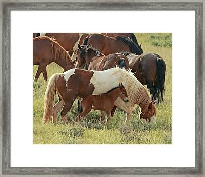 Mustang Baby Framed Print by David  Treick